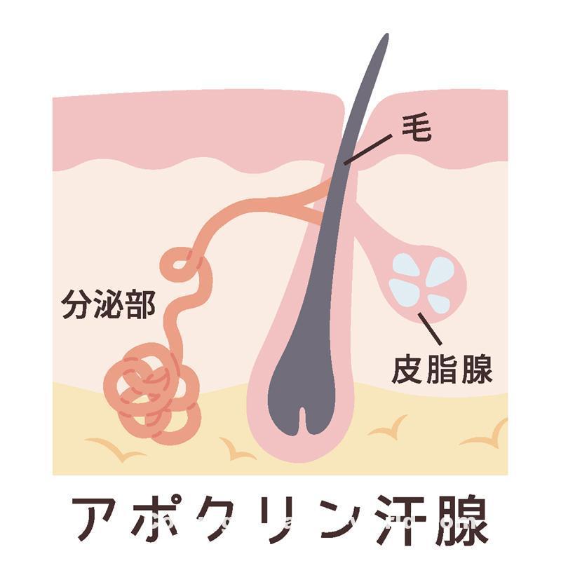 アポクリン汗腺の構造図